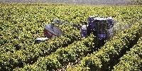 La machine à vendanger Braud 9090X a pu vendanger 197,6 tonnes en 8h grâce au convoyeur latéral lui permettant de vendanger en continu