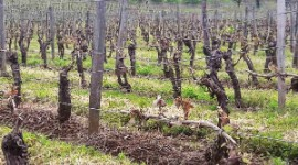 """The clusters do not look good in the vineyards. It is difficult to know what the outcome will be"", comments Philippe Bernéde."