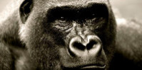 Connus des scientifiques sous le nom de Gorilla gorilla diehli, les gorilles de Cross River se trouvent dans le bassin du Congo.