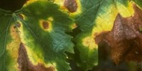 La bactérie Xylella fastidiosa a été découverte récemment sur vigne au Mexique