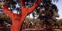 Une fois en production, le liège d'un chêne est récolté tous les neuf ans, entre mai et août.