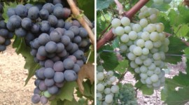 The red grape variety Rebelia and the white grape variety Recybel.