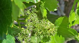 For vine flowering, there is a critical 2-week period.