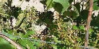 Dégâts de grêle sur inflorescence, suite à l'orage du 24 juin 2016 dans le Rhône