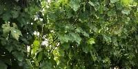 Grêlons dans les vignes à Saint Sornin