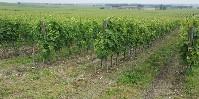 « Sous tous les interrangs, la maîtrise de la végétation sont assurée par des moyens mécaniques » annonce le nouveau cahier des charges charentais.