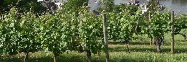 In the Loire, Chenin covers 9,700 ha.