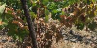 « Face à l'éventualité d'une intensification de la vague de chaleur », le syndicat viticole reste prudent sur le chiffrage des dégâts, qui pourraient s'accroître.
