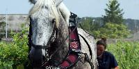 : « Les chevaux ont eu chaud mais ont pu aller jusqu'au bout de leur travail » précise le syndicat viticole de l'appellation Bourgueil.