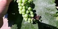Certaines grappes cumulent symptômes de mildiou et d'oïdium.
