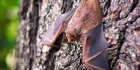 Les chiroptères font partie des espèces protégées par l'action de la LPO.