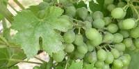 Les produits à base de quinoxyfène étaient utilisés pour lutter contre l'oïdium de la vigne