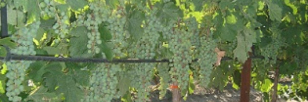 Veraison will soon be with us, bringing relief for winegrowers.