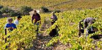 Les vendanges commencent par le muscat en Languedoc.