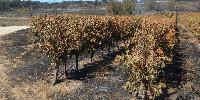 Les vignes brûlées depuis le 30 juillet dans le Gard créent un spectacle de désolation.