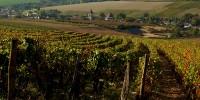 Les premiers pinot et chardonnay devraient arriver à maturité aux alentours du 15 septembre 2019 en Bourgogne