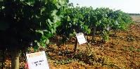 Quatre cépages résistants ont reçu un avis favorable pour l'inscription au catalogue des variétés.