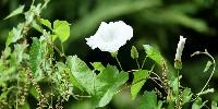 Le liseron est une plante vivace dont le contrôle est difficile.
