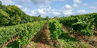 «Génétiquement ces plants sont à 50% composés de gènes d'ugni blanc, mais ils n'en ont pas du tout le type» commente Joseph Stoll (responsable du pôle vignoble de la Station Viticole), dans les vignes de la Fondation Fougerat (parcelle de Graves, en Petite Champagne).