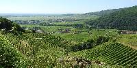Les cours moyens 16/17 de campagne enregistrés par l'interprofession (Civa) ont baissé pour tous les cépages, sauf pour les vins de base de crémant et pour le riesling.