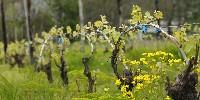Préparer la vigne aujourd'hui pour lui permettre de s'adapter aux changements climatiques de demain : c'est le but d'un travail engagé par des responsables professionnels pour trois ans.