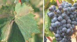 Probably named after its first winegrower, Mgaloblishvili is a grape variety from western Georgia. Not recommended for single varietal wines, it can be used in blends or for brandy production according to Georgian expert David Maghradze.