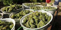 Wine growing to be significantly affected by the end of tax exemptions