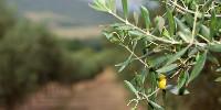 Présente en Italie, la sous-espèce pauca n'a été détectée en France que sur le foyer de Menton.