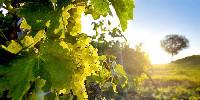 Cépage à double fin, l'ugni blanc composant 98 % du vignoble de l'appellation Cognac. Pour 2 % de celui de l'IGP vin charentais.