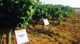 Three grape varieties were rejected on the basis that they lacked compliance with one of the catalogue's rules, i.e. that the name cannot be contested or mistaken for other existing grape varieties.