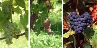 A noter que selon les termes, prudents, du CTPS, il s'agit de «l'inscription au catalogue français de plusieurs variétés de vignes susceptibles de présenter des caractéristiques de résistance à certaines maladies».