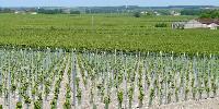 Avec 80000 hectares de surfaces plantées en Charentes-Cognac (donc 75000ha aptes à la production de Cognac), le vignoble du bassin s'est replié de 20% en trente ans.