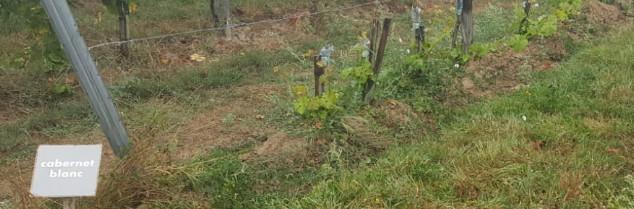 De premières parcelles de cépages résistants classés définitivement commencent à parsemer le vignoble français. Ici dans le Bordelais.