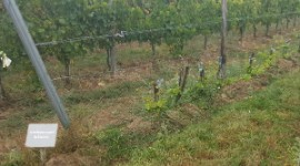 The first plots of permanently classified disease-resistant vines are beginning to appear in French vineyards, here, in Bordeaux.