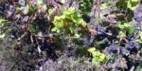 Dégâts de mildiou en Languedoc, lors de la campagne 2018