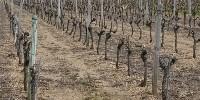 Vignes désherbées en Anjou : un cliché qui devrait disparaître sous peu avec la publication des nouveaux cahiers des charges des AOP d'Anjou-Saumur.
