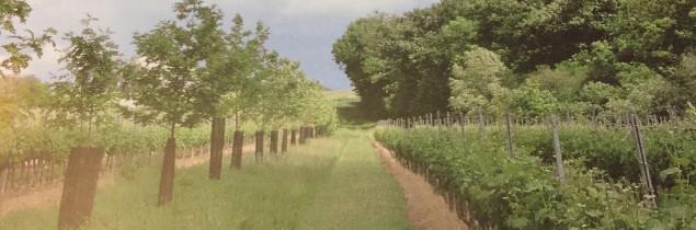 La plantation d'arbres entre les vignes n'impacte pas la photosynthèse