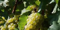 Nouveauté pour le Muscadet AC, l'entrée de gamme, la possibilité d'y adjoindre du chardonnay.