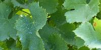 Vigne traitée avec du cuivre