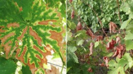 """These important figures underscore the need for action by the industry at national level, through the National Plan for Grapevine Dieback"", claimed the Charente Plant Health Bulletin."