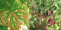 «Ces chiffres importants viennent renforcer la nécessité d'une action de la filière au niveau national, à travers le Plan National Dépérissement du Vignoble» estime le Bulletin de Santé du Végétal charentais.