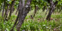 Champagne is preparing to phase out the use of herbicides.