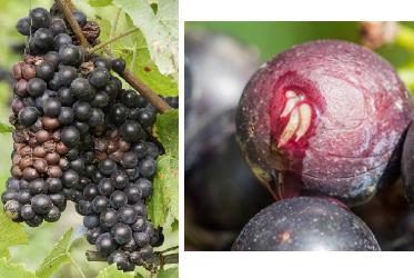 2014, annus drosophylis pour le vignoble suisse