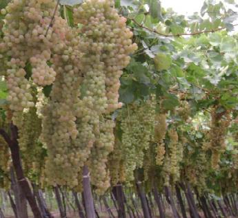 Vignes éponges de Cognac : condamnation compréhensive de rendements excessifs