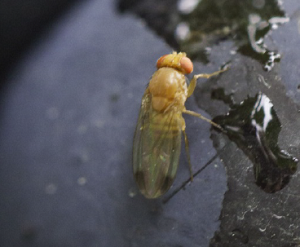 Vendanges 2015 : pour prévenir la pourriture acide, préférez les mesures préventives aux insecticides