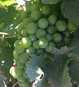 De la « crème solaire pour les raisins » : la solution australienne à l'échaudage