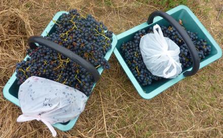 Sélection variétale : de nouveaux clones de malbec pour pimenter les côtes de Bourg