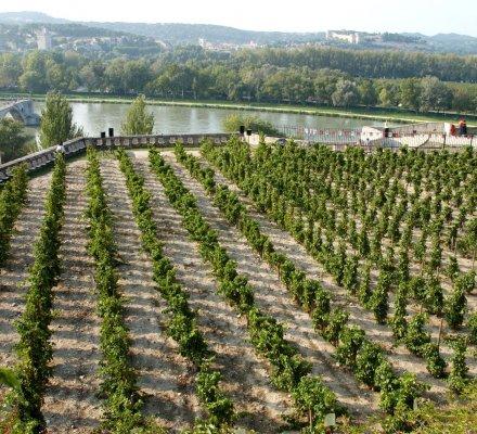 Avignon : la vigne emblématique du palais des Papes replantée