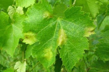 Protection du vignoble : les préconisations pour déjouer les résistances
