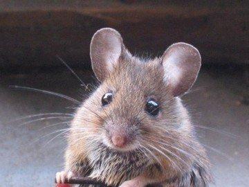 Goût de souris : pour ne pas passer à côté, il faut tremper son doigt dans le vin